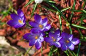 stock photo of violets  - Violet crocuses in garden on garden with young green grass. Outdoor, spring flowers