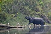 Постер, плакат: Greater One horned Rhinoceros In Bardia Nepal