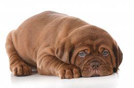 pic of bordeaux  - cute puppy  - JPG