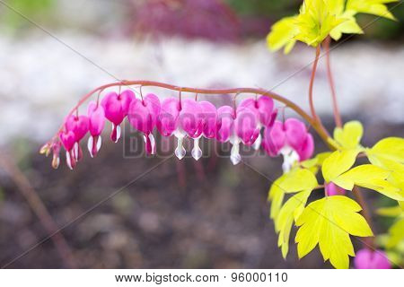 CLose up of bleeding hearts (Lamprocapnos spectabilis)