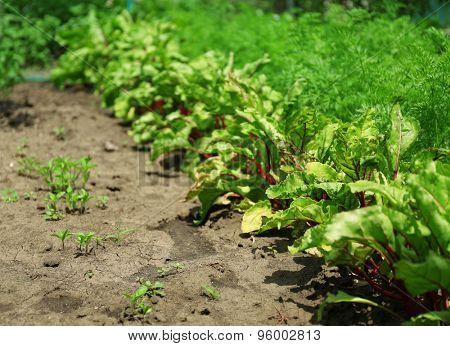 Tops of vegetables growing in garden