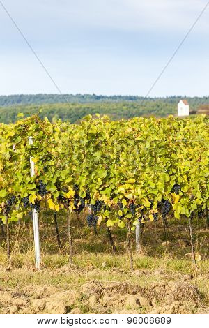 autumnal vineyard near Hnanice, Southern Moravia, Czech Republic