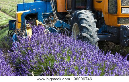 lavender harvest, Rhone-Alpes, France