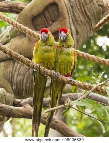 Red Crowned Parrots