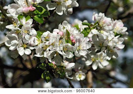 Apple Blossom Closeup