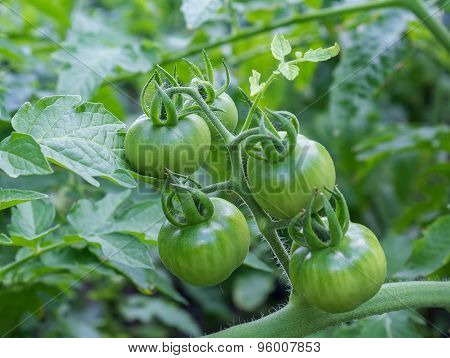 Bunch Of Unripe Green Tomatoes In The Garden