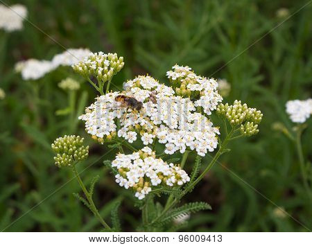 Bee Pollinates White Wildflowers. Fields And Meadows