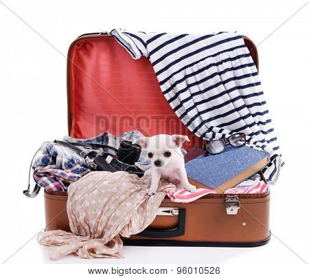 Adorable chihuahua dog in suitcase with clothing isolated on white