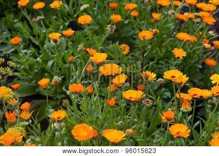 Calendula field