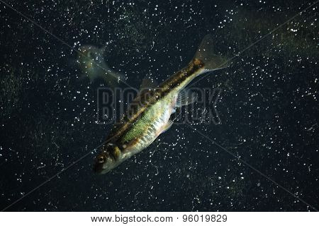 Common minnow (Phoxinus phoxinus). Wildlife animal.