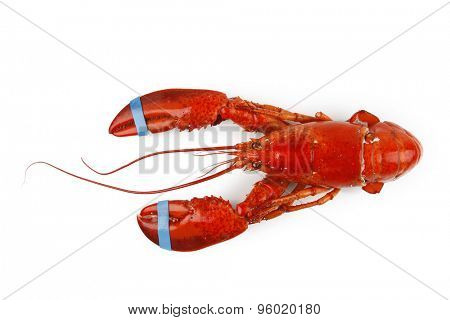 Lobster isolated on plain background