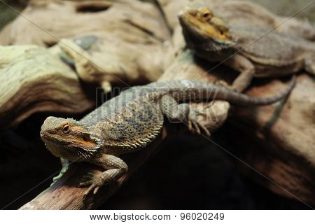 Central bearded dragon (Pogona vitticeps), also known the inland bearded dragon. Wildlife animal.