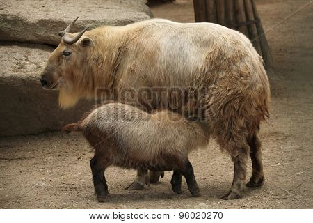 Golden takin (Budorcas taxicolor bedfordi) feeding its calf. Wildlife animal.