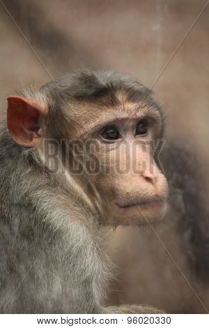 Bonnet macaque (Macaca radiata) looking through glass. Wildlife animal.