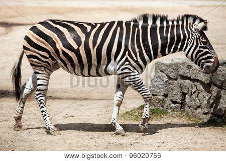 Chapman's zebra (Equus quagga chapmani). Wildlife animal.