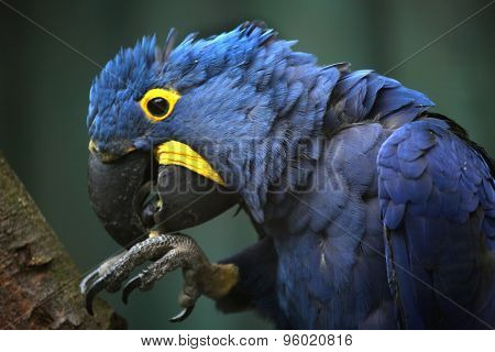 Hyacinth macaw (Anodorhynchus hyacinthinus). Wildlife animal.