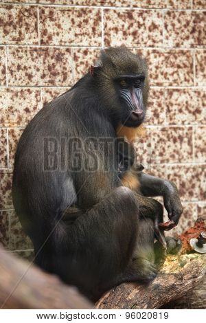 Mandrill (Mandrillus sphinx) with its baby. Wildlife animal.