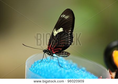 Black-winged butterfly eating blue sugar. Wild life animal.