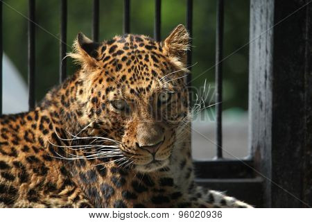 North-Chinese leopard (Panthera pardus japonensis). Wildlife animal.