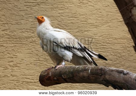 Egyptian vulture (Neophron percnopterus), also known as the white scavenger vulture. Wild life animal.