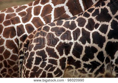 Rothschild's giraffe (Giraffa camelopardalis rothschildi) skin texture. Wildlife animal.