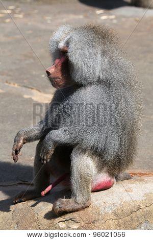 Old male Hamadryas baboon (Papio hamadryas). Wild life animal.