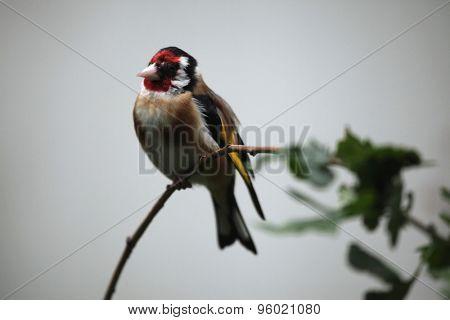 European goldfinch (Carduelis carduelis). Wild life animal.