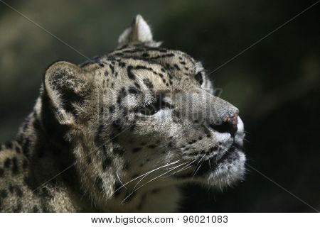 Snow leopard (Panthera uncia). Wildlife animal.