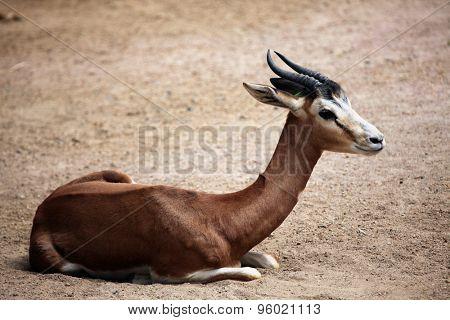 Mhorr gazelle (Nanger dama mhorr). Wild life animal.