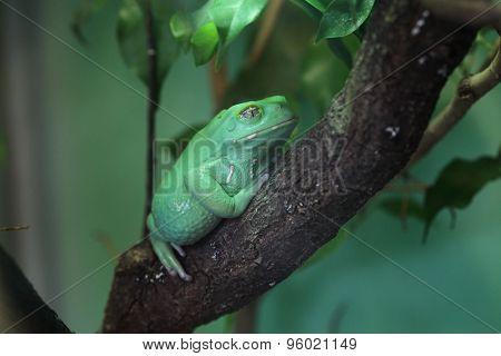 Waxy monkey tree frog (Phyllomedusa sauvagii). Wild life animal.