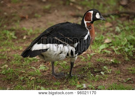 Red-breasted goose (Branta ruficollis). Wild life animal.