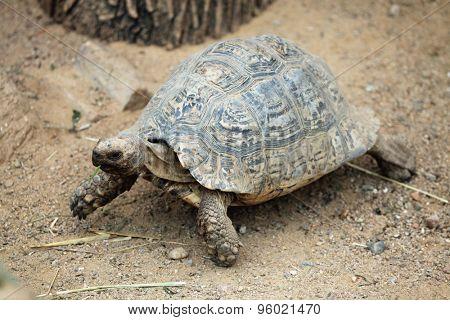 Leopard tortoise (Stigmochelys pardalis). Wild life animal.