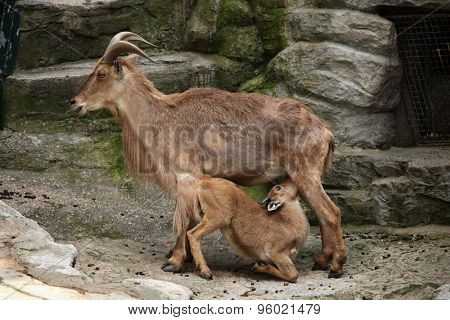 Female Barbary sheep (Ammotragus lervia) feeding its lamb. Wild life animal.