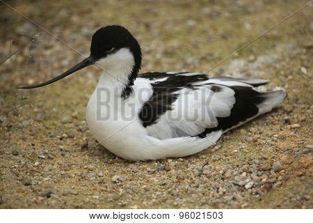 Pied avocet (Recurvirostra avosetta), aslo known as the black-capped avocet. Wild life animal.