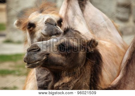 Domestic Bactrian camel (Camelus bactrianus). Wildlife animal.