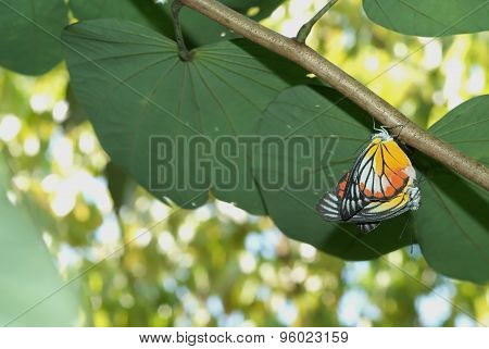 Butterflies Mating 1