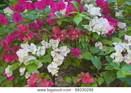 White And Pink Bougainvillea Or Paper Flower In Garden