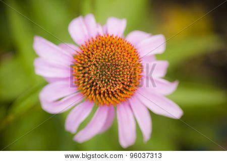 Flower blossom of echinacea flower