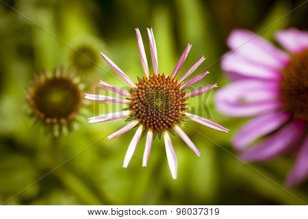 New bloom of echinacea flowers