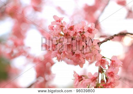 pink cherry flowers blossom on branch against blue sky background