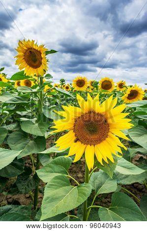 Sunflowers Growth Against Blue Sky.