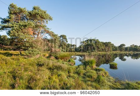 Scots Pine At The Banks Of A Natural Pond
