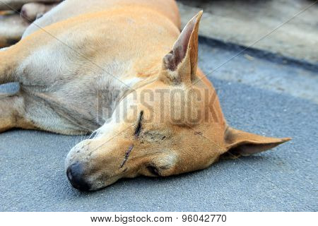 Stray Dog Sleep On The Ground