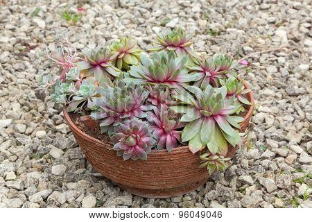 Terracotta Container With Succulent Plants.