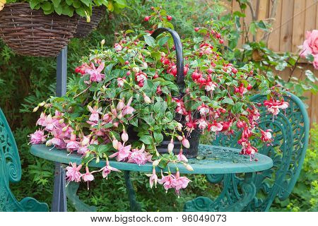 Fuschia Container Plant On Garden Table