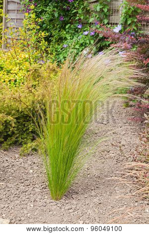 Grass Planted In An Arid Garden
