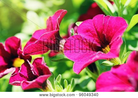 Beautiful Closeup Of Purple Petunias