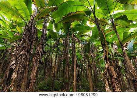 Banana tree plantation in Thailand, view from below