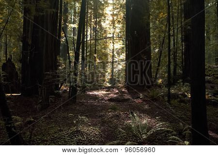 Light in a Forest