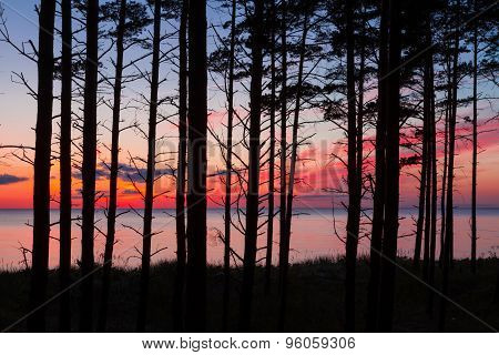 Pine Tree Forest